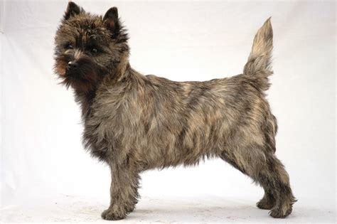 Cairn Terrier - Puppies, Rescue, Pictures, Information
