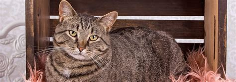 Manx Cat Breed - Facts and Personality Traits   Hill's Pet